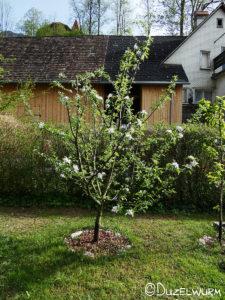 Unser Elstar Apfelbaum
