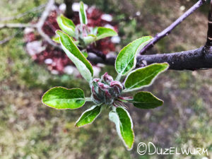Apfelbaumknospen Anfang April