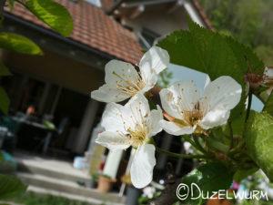 Blüte der Säulenkirsche Mitte April