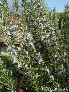 Rosmarin mit Blüten